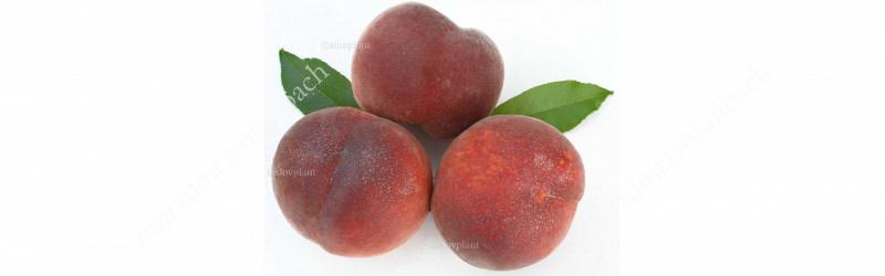 Peaches and Nectarines Ripening Chart