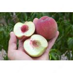 Peach (Prunus persica) BENEDICTE