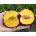 Nectarine (Prunus persica var. nucipersica) BIG TOP