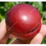 Nectarine (Prunus persica var. nucipersica) EARLY DEVIL