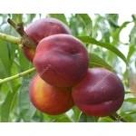 Nectarine (Prunus persica var. nucipersica) HARCO