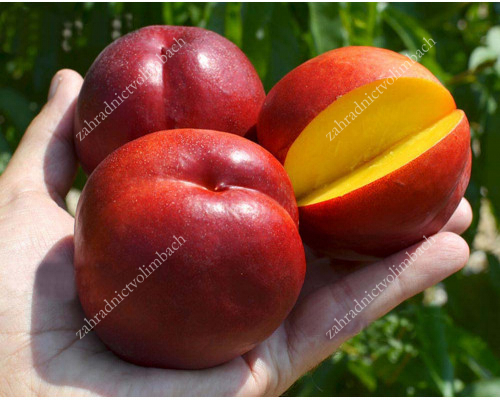 Nektarine (Prunus persica var. nucipersica) HONEY KIST
