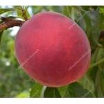 Peach (Prunus persica) INKA