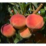 Pfirsich (Prunus persica) INKA