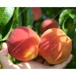 Broskyňa (Prunus persica) INKA