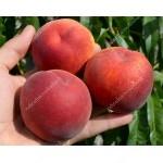 Peach (Prunus persica) JAYHAVEN