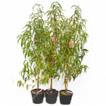 Teller-Pfirsich (Prunus persica) MONICA