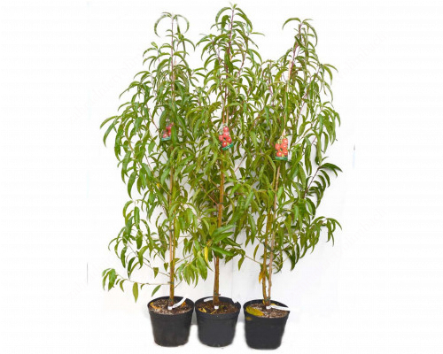 Nektarine (Prunus persica var. nucipersica) HARBLAZE