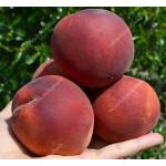 Broskyňa (Prunus persica) PRINCESS