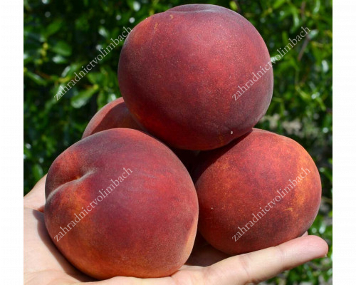 Peach (Prunus persica) PRINCESS