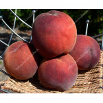 Peach (Prunus persica) RELIANCE