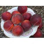 Pfirsich (Prunus persica) RELIANCE