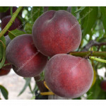 Peach (Prunus persica) ROYAL GEM
