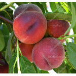 Peach (Prunus persica) ROYAL GLORY