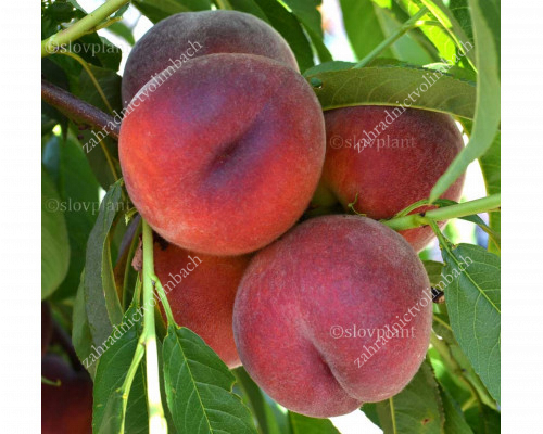 Broskyňa (Prunus persica) ROYAL GLORY