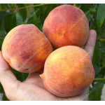 Broskyňa (Prunus persica) ROYALVEE