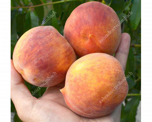 Peach (Prunus persica) ROYALVEE