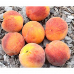 Pfirsich (Prunus persica) ROYALVEE