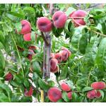 Flat Doughnut Peach (Prunus persica) SATURN