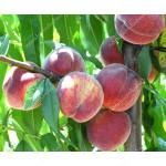 Säulenpfirsich (Prunus persica) CAMPANILO