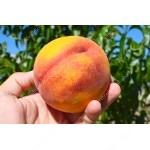 Peach (Prunus persica) SYMPHONIE