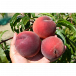 Pfirsich (Prunus persica) SYMPHONIE
