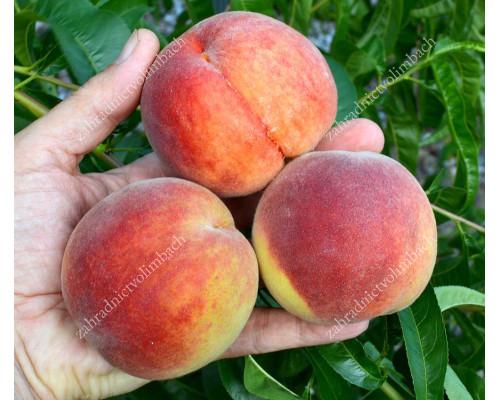 Broskyňa (Prunus persica) ZOLOTAJA MOSKVA