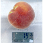 Pfirsich (Prunus persica) SOLOTAJA MOSKWA