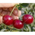 Višňa (Prunus cerasus) ACHAT®