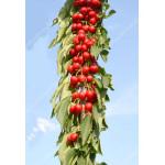 Čerešňa (Prunus avium) CAMPANILO® (stĺpová)