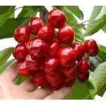Süßkirsche (Prunus avium) CANADA GIANT®