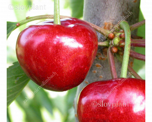 Sweet Cherry (Prunus avium) CARMEN®