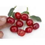 Višňa (Prunus fruticosa x P. cerasus) Carmine Jewel