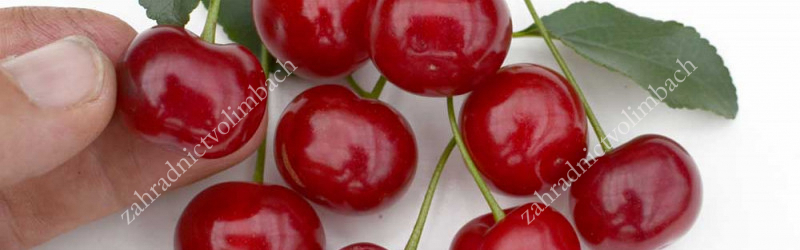 Dwarf Sour Cherries from Canada
