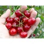 Sauerkirsche (Prunus fruticosa x P. cerasus) Carmine Jewel