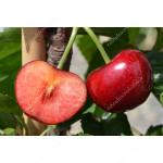 Süßkirsche (Prunus avium) CELESTE®