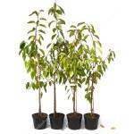 Süßkirsche (Prunus avium) LAPINS