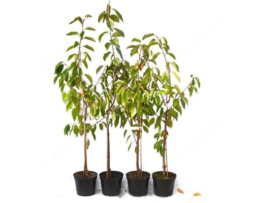 Sauerkirsche (Prunus cerasus) SASKIA®