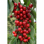 Säulenkirsche (Prunus avium) CLAUDIA
