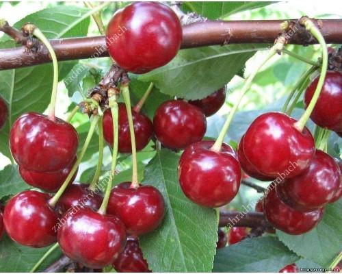 Sweet Cherry x Sour Cherry hybrid CHUDO VISHNYA