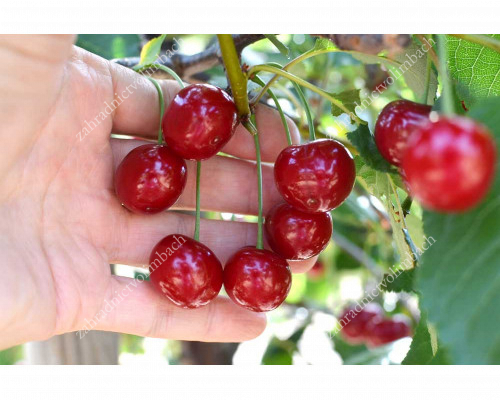 Sour Cherry GEREMA®