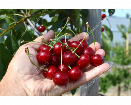 Sauerkirsche (Prunus cerasus) JACHIM® (Säulenform)