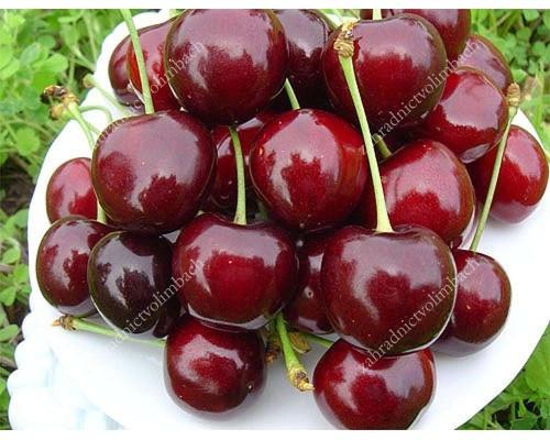 Sweet Cherry (Prunus avium) YAROSLAVNA