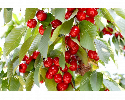 Čerešňa (Prunus avium) LAPINS