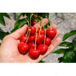 Süßkirsche (Prunus avium) SABRINA®