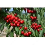 Süßkirsche (Prunus avium) SAMBA®