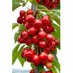 Čerešňa (Prunus avium) SAMBA®