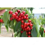 Süßkirsche (Prunus avium) SWEETHEART®