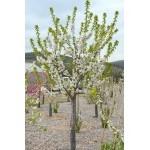 Čerešňa (Prunus avium) SYLVIA (stĺpová)