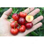 Süßkirsche (Prunus avium) TAMARA®